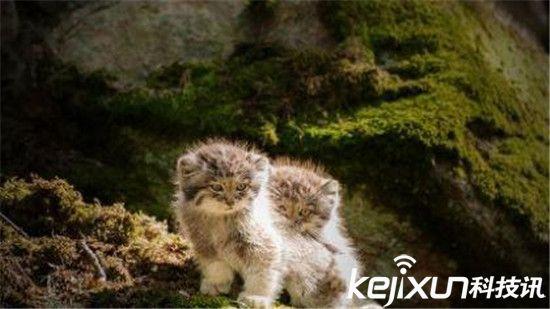 世界上最凶猛的猫 帕拉斯猫500万年未进化