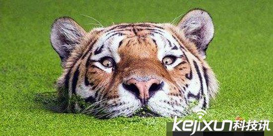 爱游泳不爱打杀丹麦哥本哈根动物园内,一头老虎一反常态,平静地在