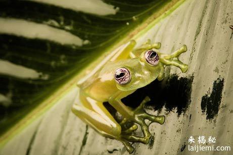 世界上最可爱的青蛙