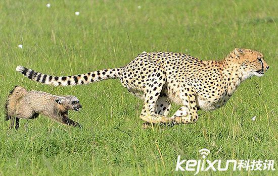 【动物趣图】非洲肯尼亚猎豹捕食野狗【图组