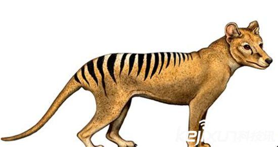 """袋 狼在希腊意为""""狗头并自带袋子的动物"""",但通常被称为塔斯马尼亚虎。这些澳洲本土动物因对家畜造成威胁被捕杀,官方于1936年宣布其已灭绝。然而后来在 塔斯马尼亚岛和澳洲大陆,都不断有目击报道,这些都没有被科学家证实,但其中的一些是由可信而且冷静的人所报道,所以在这其中应该会有一些可信度。"""