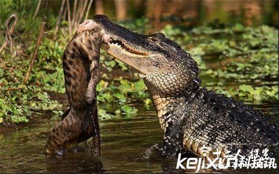 动物界最恐怖的食物链 老虎撕裂鳄鱼太简单了!