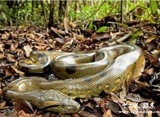 com.cn    在动物百科中,绿水蟒其实就是亚马逊森蚺.