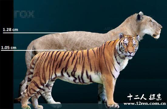 历史上最大的猫科动物,残暴狮长4米重800斤(已灭绝)