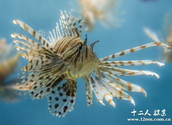 狮子鱼体型小,最大约12厘米长。体长形,柔软,蝌蚪状,皮肤松弛,体无鳞,皮松软,光滑或具颗粒状小棘,而有时具小刺。背鳍长,腹鳍于头下,形成吸盘,用以吸附海底。狮子鱼是世界上最美丽、奇特的鱼类之一。  美丽的外表,红褐相间的条纹,使得它显得非常夺目,与海底色彩缤纷的珊瑚、海葵相映成趣。分布于北大西洋、北太平洋及南北极冷水区。主要以甲壳动物为食。狮子鱼的肉可食用。