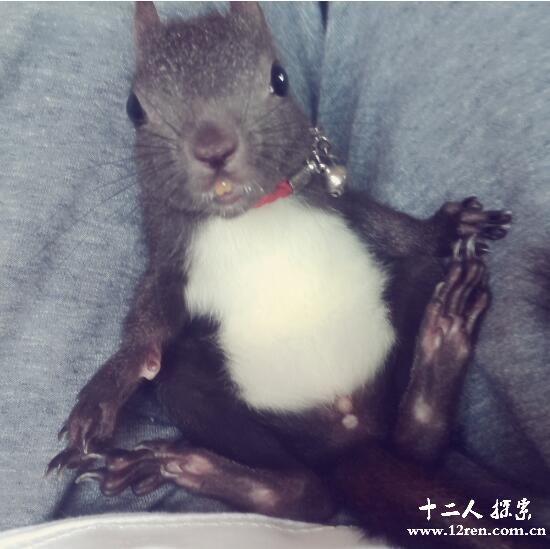 魔王松鼠体形通常中等大小,是寒温带针叶林和混交林中的典型代表动物