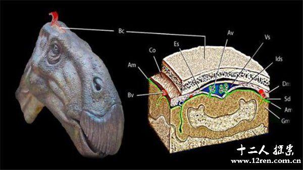 断恐龙大脑的结构