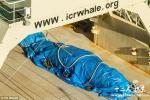 日本南极偷猎鲸鱼 为何日本人非要吃鲸鱼肉