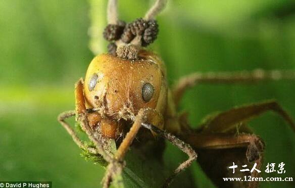 僵尸蚂蚁你有听过吗?揭秘僵尸蚂蚁的来历