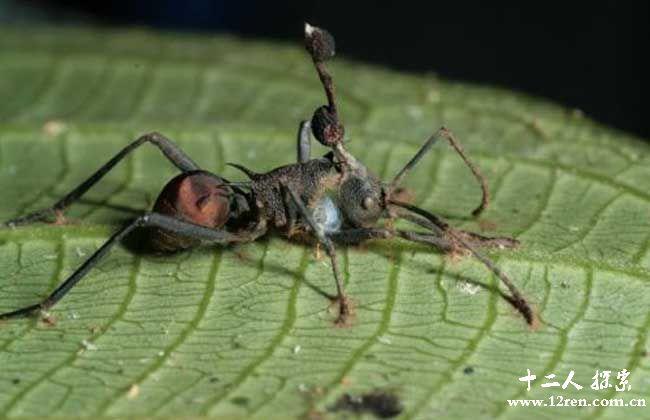 真菌让蚂蚁变成僵尸蚂蚁