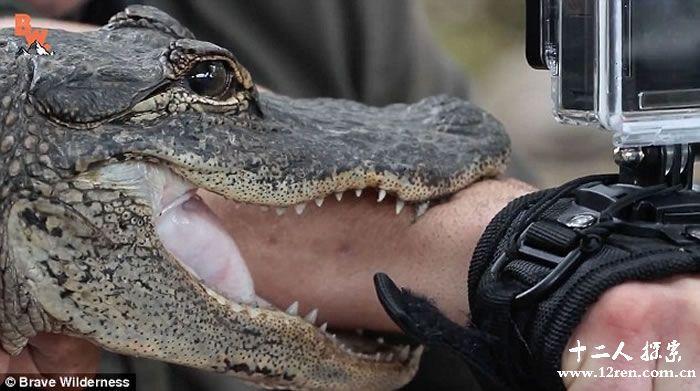 趣闻!美国动物专家coyote peterson为体验鳄鱼咬力 竟