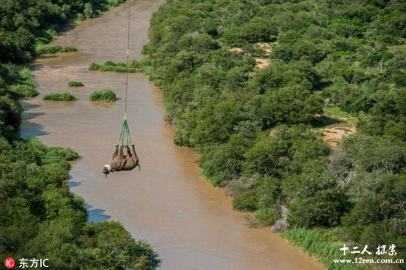 南非黑犀牛乘直升机搬家 游走云端