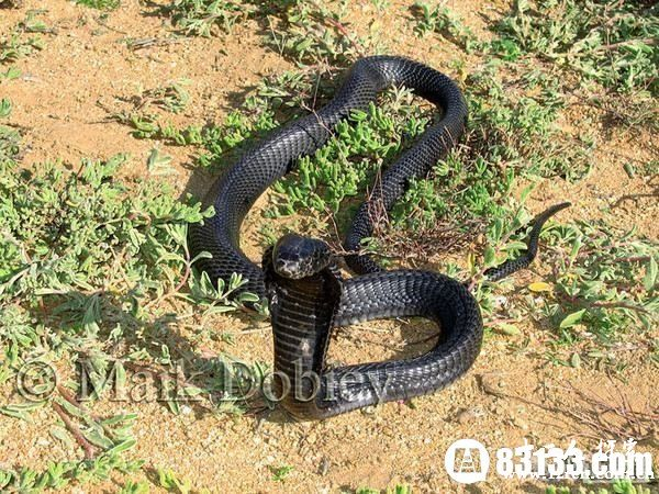 男子放生毒蛇 世界上7种毒蛇最毒