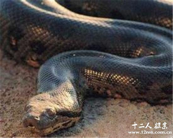 世界最大的蛇97米 工地现超级大蟒蛇